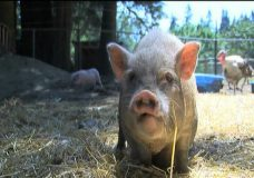 Chemainus rescue overwhelmed with abandoned potbellied pigs