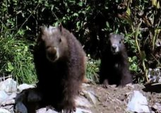 Vancouver Island marmots weather long winter