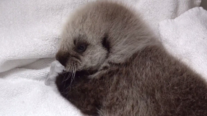 Vancouver Aquarium asks public to help name sea otter pup