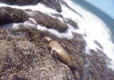 Rescuers disentangle sea lion from plastic strap near Tofino