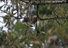 Fruit trees on mid-Island have smallest crops in years