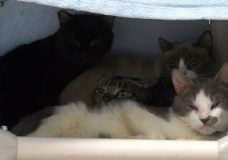 UPDATED WITH VIDEO: 56 cats surrendered to SPCA in Victoria animal hoarding case