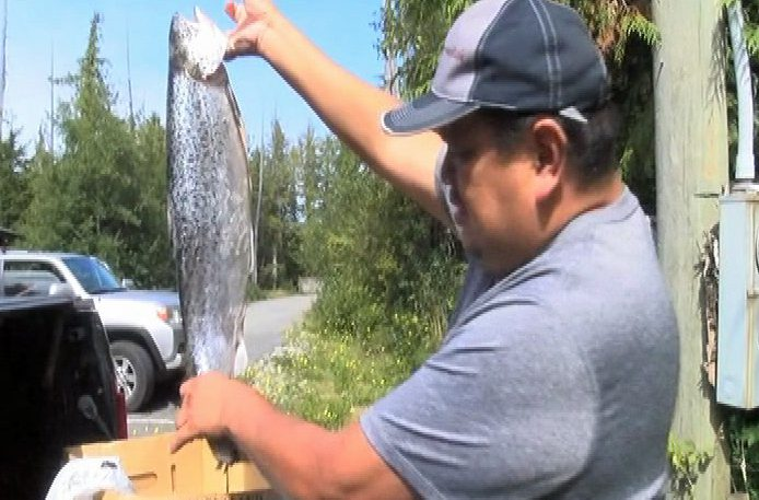 Tofino fishermen catching escaped Atlantic salmon