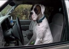 Meet a Nanaimo dog making big noise with his car horn-blowing habit