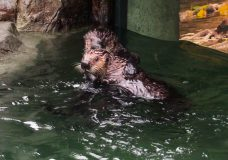 Two rescued sea otters at the Vancouver Aquarium meet for first time
