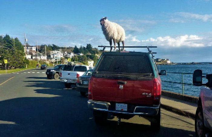 Entertaining sheep shenanigans at Oak Bay construction site