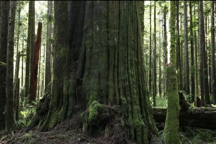 B.C. forms independent panel to offer 'science-based approach' to old-growth management