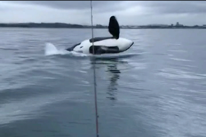 Stunning video of orca breaching near Victoria makes a big splash