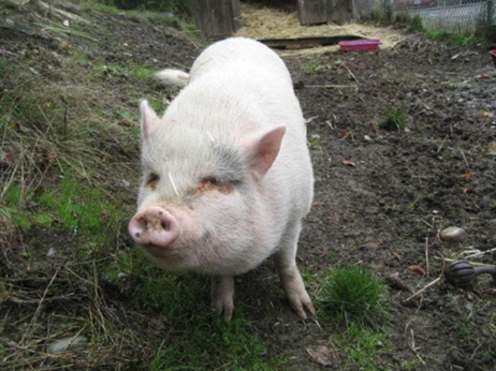 Molly the pig was adopted in January and then killed in the Duncan area. Credit: Facebook