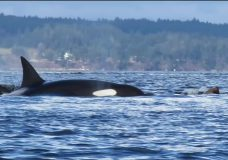 Thrill of a lifetime as Hornby Island kayaker witnesses orca attack