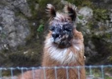 Sparkle the lost llama reunited with owner after two-day escapade