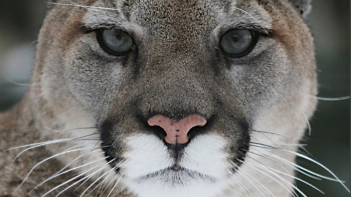Cat dies after early morning cougar attack in Gold River