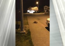 A Canadian Crime: Nanaimo RCMP discover culprit in break-and-enter attempt was a beaver