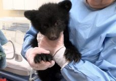 A bear cub named Malcolm at the North Island Wildlife Recovery Centre in Errington. The cub was rescued in May near Tofino. File photo.