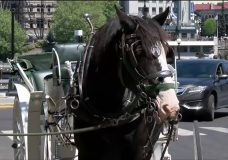 Victoria horse carriage operators speak out about verbal abuse, harassment