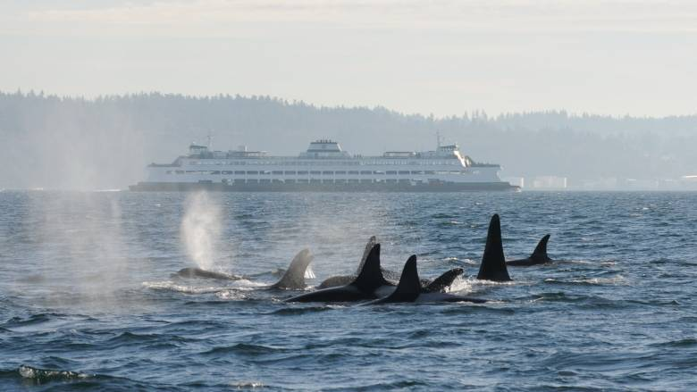 The federal government says a lack of prey for southern resident killer whales is one of the critical factors affecting their recovery.(C. Emmons/NOAA Fisheries)