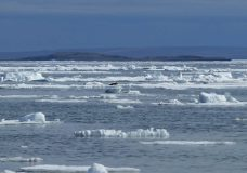 Sea ice along the east coast of Banks Island in the western Canadian Arctic. Photo courtesy UVic researcher William Halliday, a co-author of the new study led by UVic marine biologist Lauren McWhinnie.