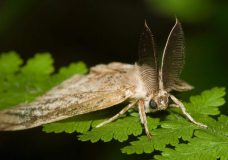 Gypsy moth spray treatments planned for Campbell River and Courtenay