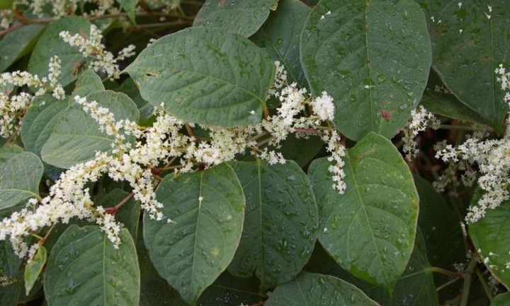 Japanese Knotweed, which is among targeted invasive plant species in B.C. The provincial government is spending $7.7 million dollars, including $142,000 on Vancouver Island, to manage the spread of invasive plants in the province. Photo courtesy Invasive Species Council of B.C.
