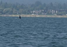 Researchers are increasingly worried about Comox transient orca