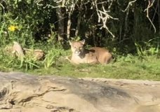 Frank J. Ney students and staff indoors as precaution after cougar sighting in Nanaimo