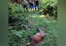 Black bear kills pet goat in Metchosin neighbourhood