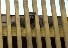 Crowd gathers to watch baby raccoons trapped on Victoria roof