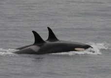 Plenty of fish in the sea for endangered killer whales during summer: report
