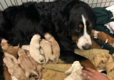 Victoria is nursing her own litter and a litter of golden retrievers. Photo Credit: Victoria Humane Society.