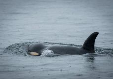 Sick orca J50 declared dead by Center for Whale Research but NOAA still searching
