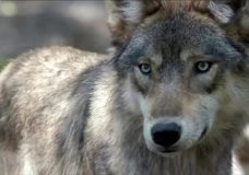 Tofino tries to live amongst wolves despite deadly attack on dog