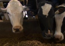 Dairy farmers say new trade agreement with U.S. has 'sold them out'