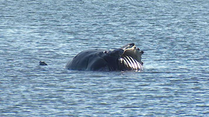 A dead humpback whale washed ashore in Tsawwassen, B.C. on Nov. 16.  (Jon Hernandez/CBC).