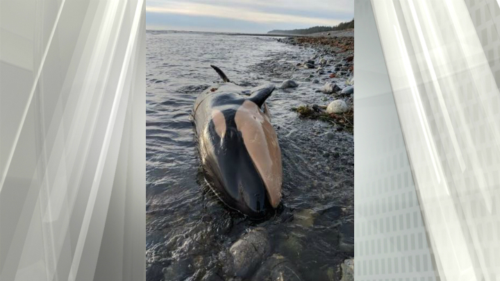 Orca found dead on Nootka Island beach likely died three to five days after birth