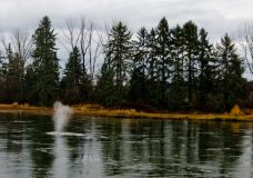The whale spouts off water in the Courtenay River in the rivermouth on the morning of December 19th, 2018. Photo by James Wood/98.9 The Goat/Vista Radio/MyComoxValleyNow