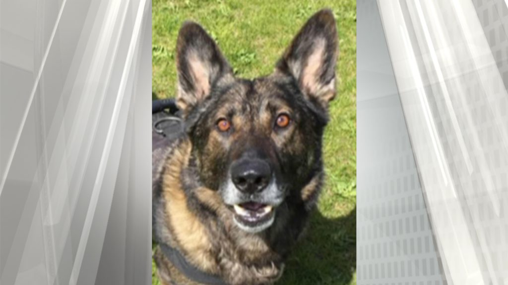Police said PSD Uno recovered from his injuries after being attacked in 2016 and returned to duty. (VicPD).