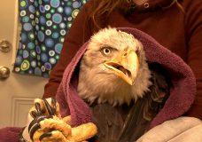 Wave of sick eagles has Vancouver Island wildlife rescuers on edge