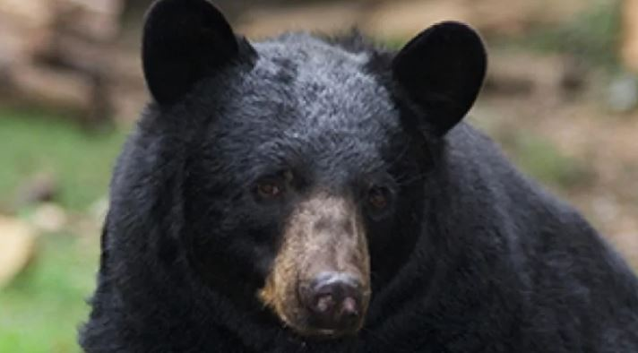Saanich police said a small black bear was seen in the 4800-block of Townsend Road on Feb. 17, 2019. (File photo/CBC).