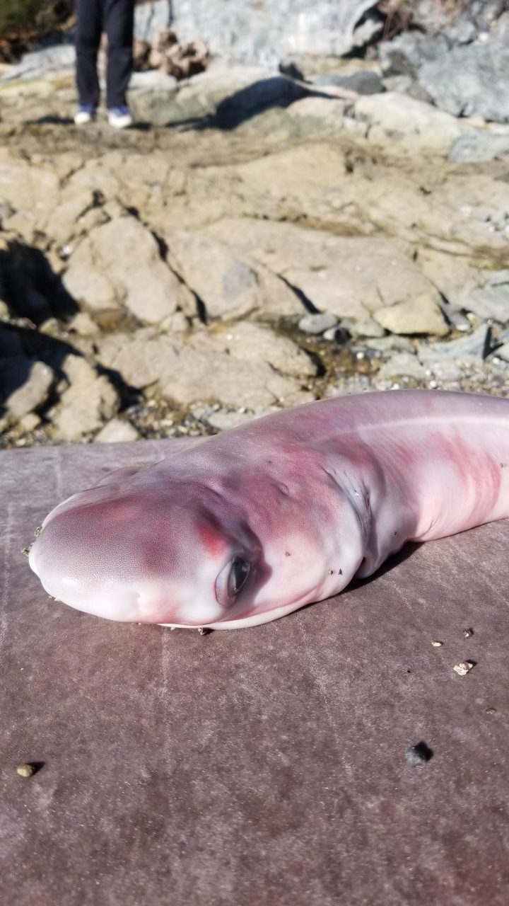One of the babies removed from the dead pregnant shark found at Coles Bay.