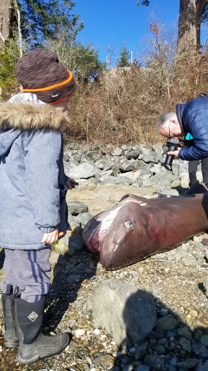 The dead pregnant shark found at Coles Bay.