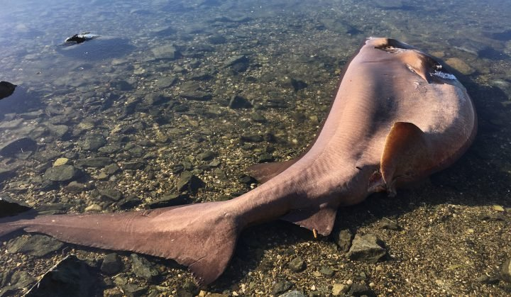 A roughly 10-foot-long bluntnose six-gill shark washed ashore at North Saanich's Cole Bay Tuesday.