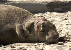 A moulting elephant seal was seen on a beach in the Greater Victoria area on March 20, 2019.