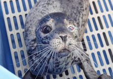 Seal shot in face is being treated at Vancouver Aquarium, release uncertain