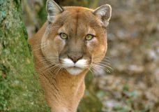 Possible cougar sighting near Gordon Head Middle School in Saanich