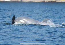Rare pale killer whale spotted off Nanaimo
