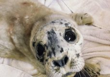 Early arrival for year's first seal pup at Vancouver Aquarium Marine Mammal Rescue Centre