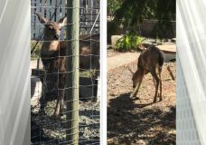 A conservation officer responded Sunday morning after a deer was found tangled in garden netting near Qualicum Beach. (BC Conservation Officer Service/Twitter)