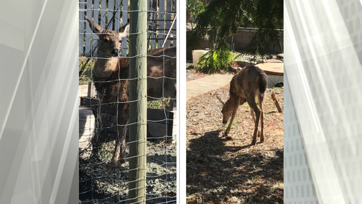 BC Conservation Officer Service posts reminder to gardeners after deer gets stuck in netting