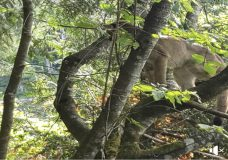 Close encounter with a cougar in Campbell River caught on camera