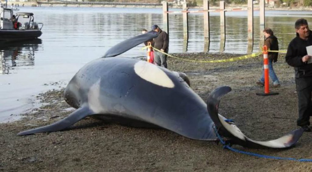 Officials with the Department of Fisheries and Oceans inspect the carcass of killer whale J34 near Sechelt, B.C., on Dec. 21, 2016. (Graham Moore). Photo courtesy of CBC.